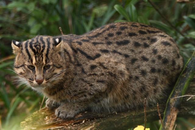 rare wild cats